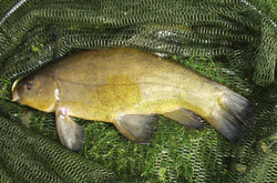 A nice Tench from the club pit