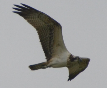 Osprey at Ellingham