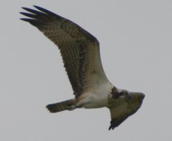 Osprey at Ellingham