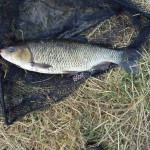 Another fine Ellingham Chub