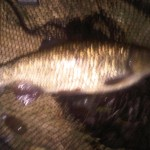 Another good Chub from Ellingham caught by Kevin Hunt