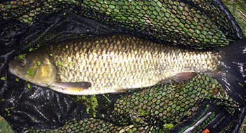 A summer Chub from Ellingham