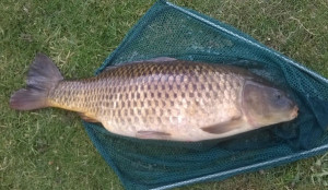 12lb Common Carp
